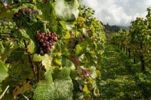 Tutto sul vino biologico, cos'è, caratteristiche e differenze