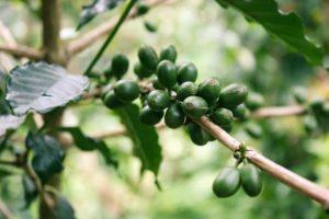 Caffè verde e tè verde, i rimedi per dimagrire naturalmente